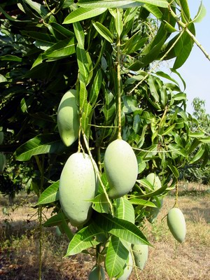 Mangoes growing